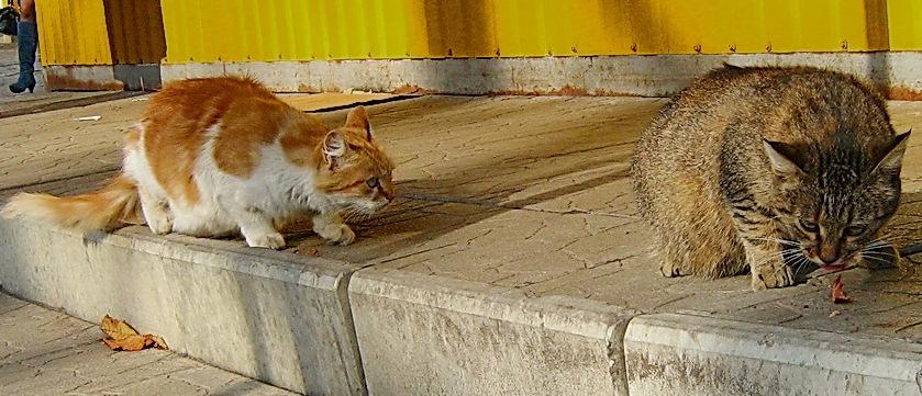 Коты и сосиска