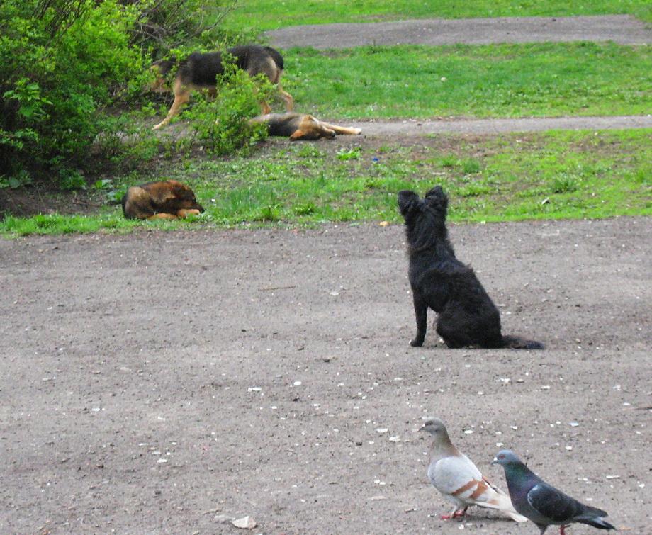 Собаки и голуби