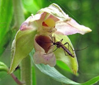 Комарик на орхидее
