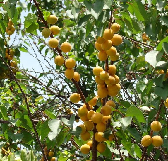 ветка абрикоса