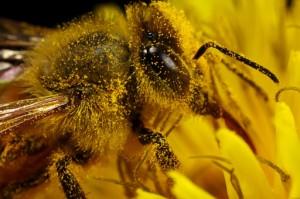 Пчела-охранница