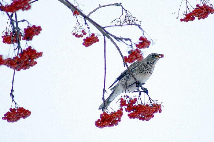 Птица с ягодой